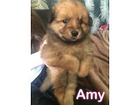 F1b pomsky puppies fluffy and cute