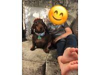 Pedigree dachshund puppies