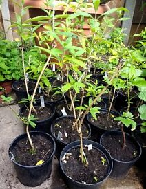 Buddleia plants
