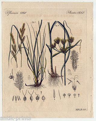 Gräser-Gras-Carex-Scirpus-Pflanzen - Bertuch-Kupferstich 1810 Botanik