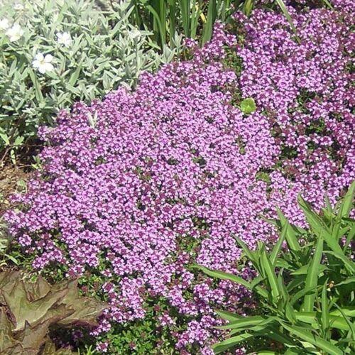 Dwarf Creeping Thyme Seeds, Thymus Serpyllum, Ground Cover, FREE SHIPPING