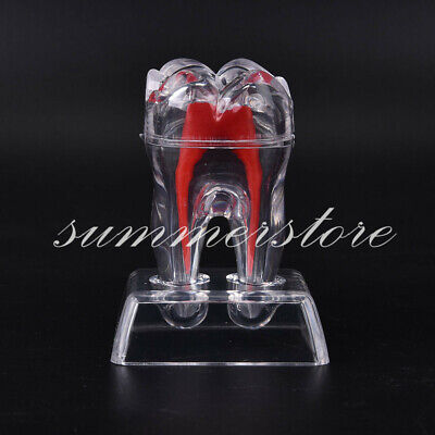 Dental Crystal Base Hard Plastic Teeth Separable Model Dentistry Tooth Molar