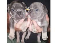 FrenchBulldogs Lilac tans