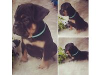 French Bulldog Black and Tan Boy ... SOLD SOLD SOLD.....