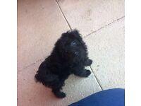 Ready now Yorkiepoo x Kc Reg Red toy poodle