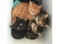 Female kittens 8 weeks ready to go to new homes