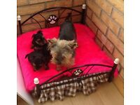 Yorkshire terrier ( VERY TINY) £700.00. (SOLD)