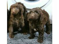 Lovley chocolate cockapoo puppies