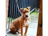 Gorgeous saff puppy for sale.