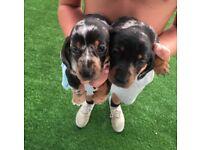 Adorable miniature dapple dachshund puppies
