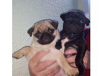 two pedigree pug sisters 10 wk old