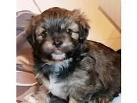 Shih-tsu Puppies... Last 2 remaining