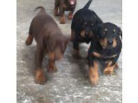 Beautiful KC registered Doberman puppies