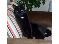 £2000 REWARD for safe return of my cat Oliver/Rambo. Microchip No 977200008614186