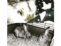 Grown Indoor Rabbits free to good home!