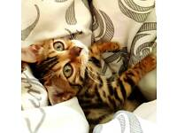 TICA F5 Female Bengal kitten