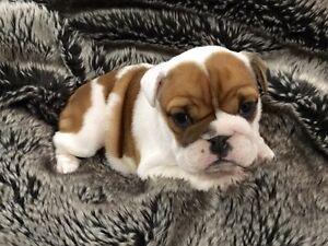 Female British Bulldog Puppy Glendon Singleton Area Preview