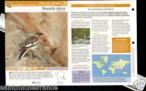 """Niverolle alpine-Montifringilla nivalis White-winged Snowfinch FICHE OISEAU BIRD - France - PORT GRATUIT A PARTIR DE 4 OBJETS BUY 4 ITEMS AND WORLDWIDE SHIPPING IS FREE EXCEPT USA, CANADA, AMERICA ONLY TRACKING MAIL FICHE TECHNIQUE, SPECIFICATION SHEET PAPIER GLACÉ, GLAZED PAPER RECTO-VERSO FORMAT 35 CM X 23,5 CM SIZE : 12.06"""" X 8.28""""  - France"""