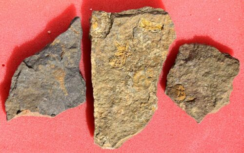Three Lower Ordovician Plates with Fossils, from Morocco