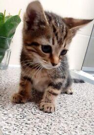 Tabby×Bengal Kitten for Sale
