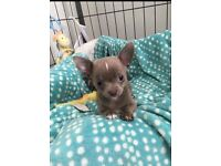 Beautiful KC Chihuahua forsale