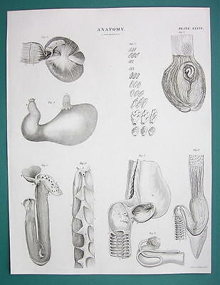 ANIMAL ANATOMY Stomach of Birds Human Sturgeon - c. 1835 Fine Quality Print