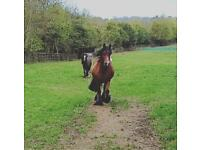 Horses to loan
