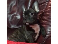 Magnificent kc Male French bulldog puppy