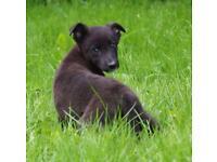 7 x Lurcher/Deerhound X German Shepherd Puppies