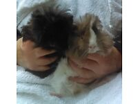 Pair of Peruvian (Long Haired) Male Guinea-Pigs
