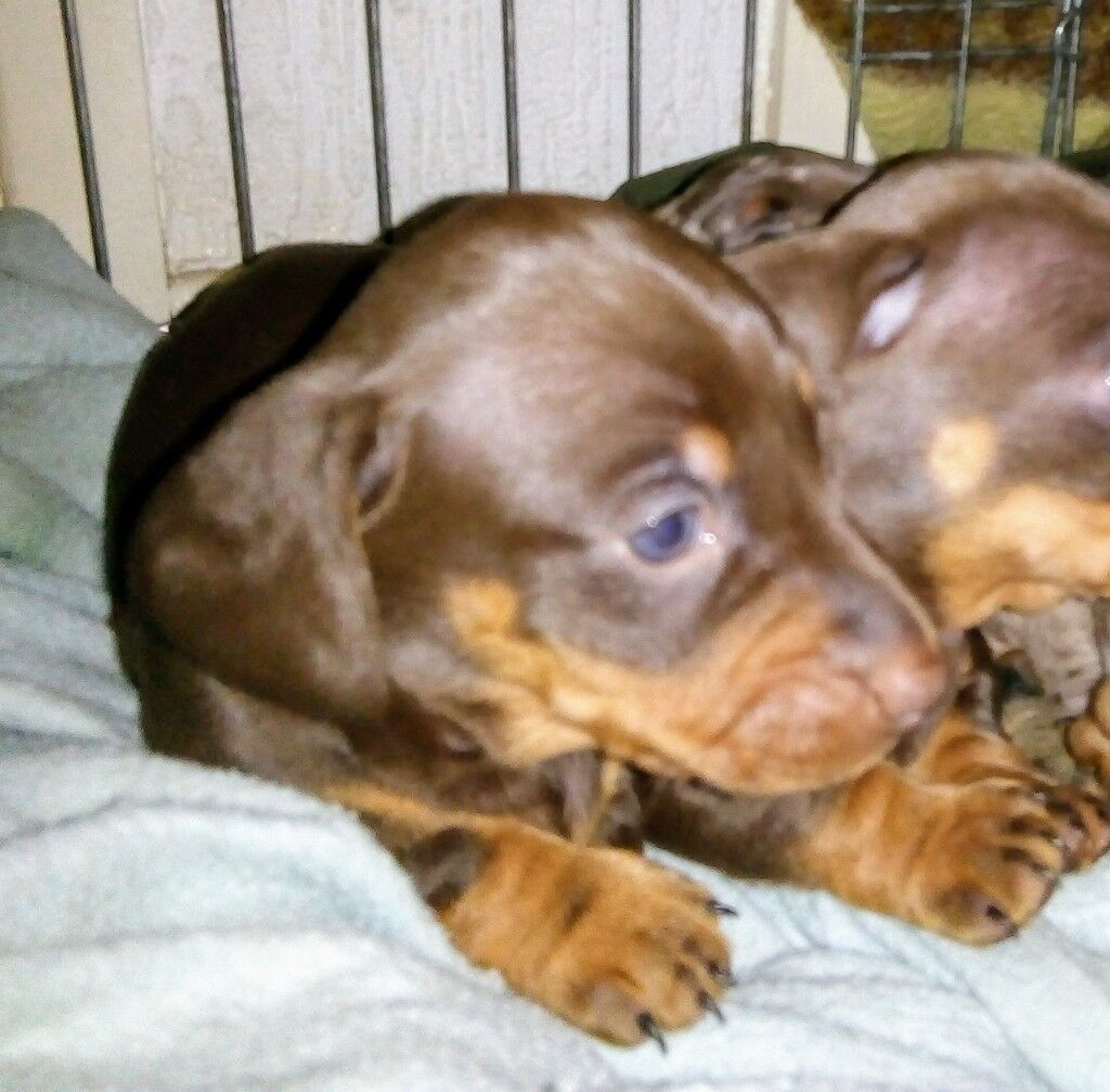 Miniature Dachshund puppy for sale : plain chocolate 1 x FEMALE left