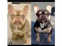 French bulldog puppies Isabella carriers