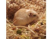 White male gerbil