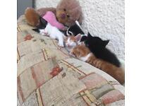 8 wks old kittens. 2 boys left. £175 each.