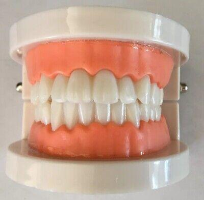 Dental Teeth Model For Teaching Demonstration Plastic