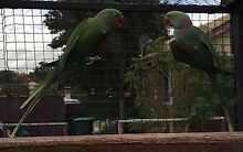 Parrots for sale or swap Westminster Stirling Area Preview