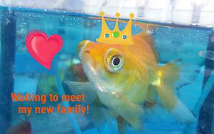Goldfish, Axolotls, Hermit crabs & Accessories Wallan Mitchell Area Preview