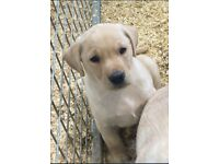 Pedigree Labrador ikc registered