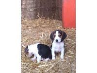 Beagle puppy's.... 9 weeks old, vet checked, wormed and has first vaccinations.