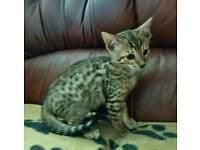 1 Full bread Bengal kitten left