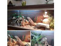 Bearded dragon and full setup