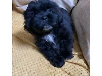 Shih Tzu puppies ONE GIRL AVAILABLE