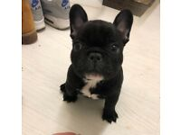 French bulldog black and white male