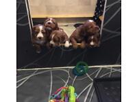 Cocker spaniel puppys, ruby colour stunning!