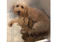 F2 Cockapoo Puppies