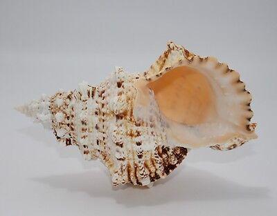 Bursa bubo giant frog shell, 16,5cm, Muschel, Schnecke /Unikat #J577