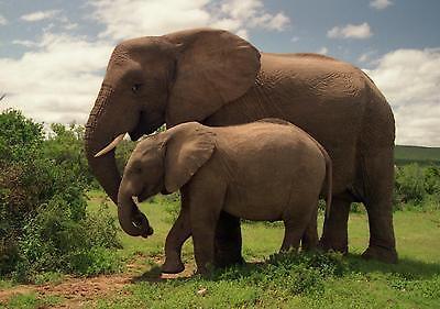 ELEPHANT -  ELEPHANTS 8X10 GLOSSY PHOTO PICTURE
