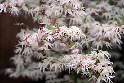 25 FLOATING CLOUD JAPANESE MAPLE TREE SEEDS ** ORNAMENTAL  BONSAI ROCK GARDEN - Japanese Ornamental Tree