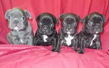 French Bulldog Puppies Werombi Wollondilly Area Preview