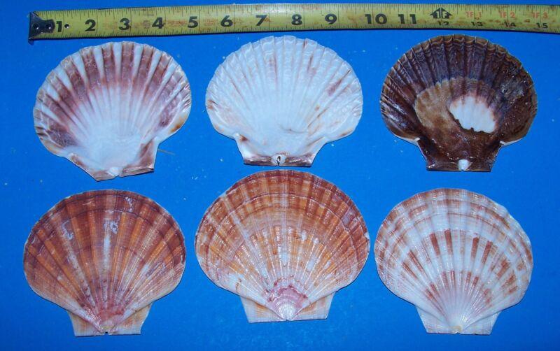 12  LARGE IRISH FLAT SCALLOP CLAMS  SEAFOOD  SHELLS ITEM # 1088-12